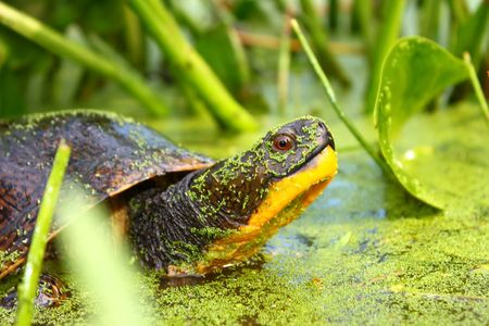 Threatened Blandings Turtle (Emydoidea blandingii) - Illinois