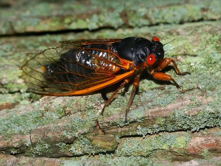 periodical: 17-year Periodical Cicada (Magicicada septendecim) at Rock Cut State Park in northern Illinois