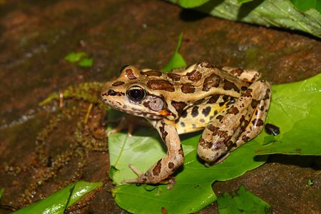 pickerel: Pickerel Frog (Rana palustris) surveys the forest floor at Monte Sano State Park, Alabama