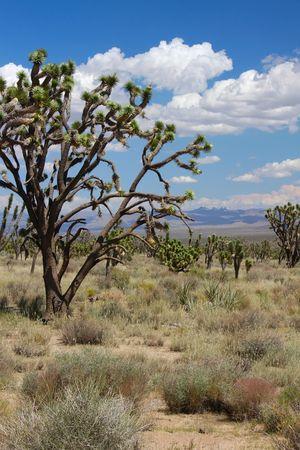 bernardino: Joshua trees at the Mojave National Preserve in California. Stock Photo