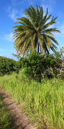 sways: Palm tree sways in the breeze on the Caribbean island Saint Kitts Stock Photo