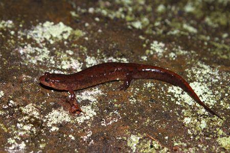 cane creek: Dusky Salamander (Desmognathus conanti) near Cane Creek in northern Alabama