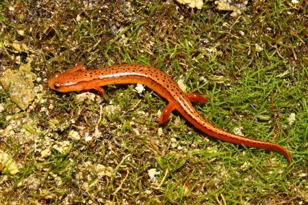 cane creek: Southern Two-lined Salamander (Eurycea cirrigera) in northern Alabama Stock Photo