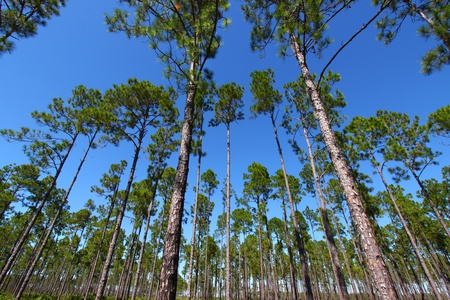 Beautiful pine flatwoods of central Florida photo