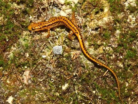 cane creek: Long-tailed Salamander (Eurycea longicauda) near Cane Creek in Alabama.