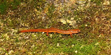 cane creek: A Southern Two-lined Salamander (Eurycea cirrigera) in northern Alabama.