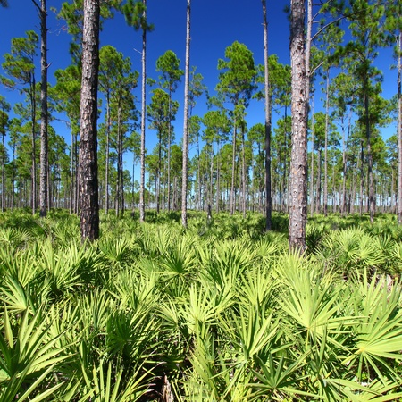 Pine flatwoods of central Florida on a sunny day Stock Photo
