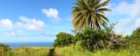 sways: A palm tree sways in the wind on the Caribbean island Saint Kitts. Stock Photo
