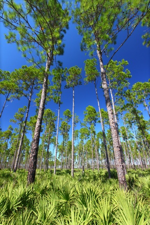 Beautiful pine flatwoods of central Florida on a sunny day photo