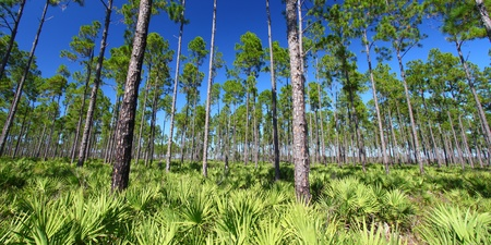 Beautiful pine flatwoods of Florida on a clear day photo