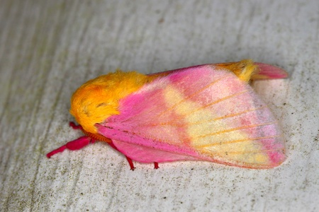 Rosy Maple Moth (Dryocampa rubicunda) sits on a wall in central Florida 版權商用圖片 - 8584564