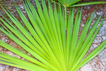 Frond of a saw palmetto (Serenoa repens) in central Florida photo