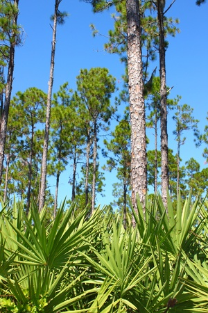 Beautiful pine flatwoods of central Florida on a sunny day