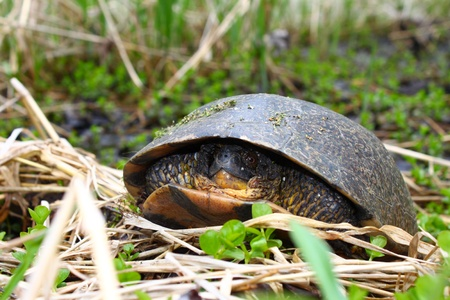 threatened: Threatened Blandings Turtle (Emydoidea blandingii) emerging in the spring in northern Illinois Stock Photo