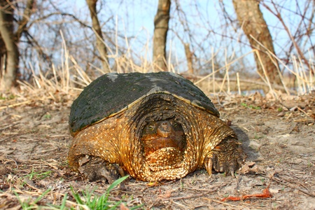 snapping turtle: Huge Snapping Turtle (Chelydra serpentina) on a warm spring day near Rockford, Illinois Stock Photo