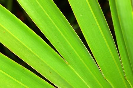 Saw palmetto (Serenoa repens) in central Florida photo