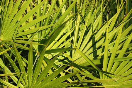 Fronds of saw palmetto (Serenoa repens) in central Florida Stock Photo