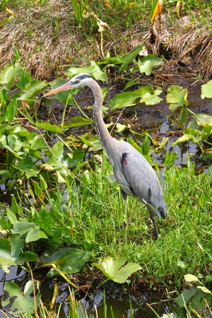herodias: Great Blue Heron (Ardea herodias) wades through the wetlands