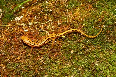 cane creek: Long-tailed Salamander (Eurycea longicauda) in the southern USA