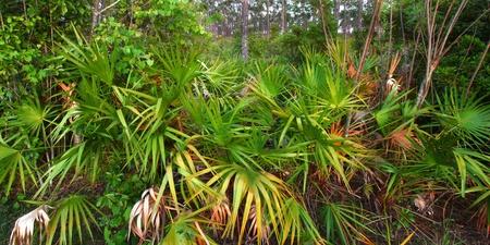 Palmetto Unterwuchs - Everglades Standard-Bild - 9255642