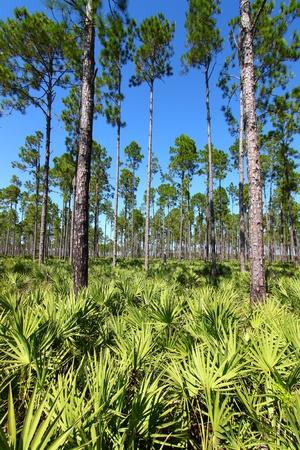 Pine Flatwoods - Florida photo