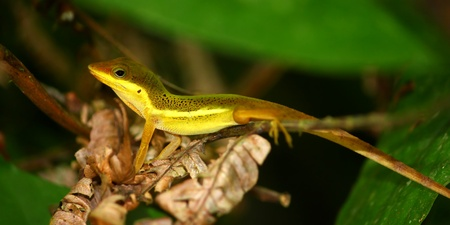 An Upland Grass Anole (Anolis krugi) hides amongst vegetation in  the El Yunque Rainforest of Puerto Rico. photo