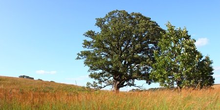 Old oak tree in the prairie at Nachusa Grasslands of northern Illinois