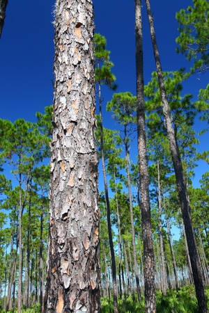 Pine flatwoods of Florida on a clear day photo