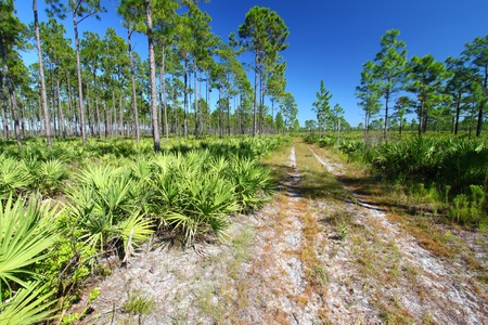 Forest Road runs through the pine flatwoods of central Florida on a sunny day photo