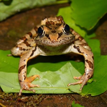 pickerel: Pickerel Frog (Rana palustris) sits on the forest floor at Monte Sano State Park - Alabama
