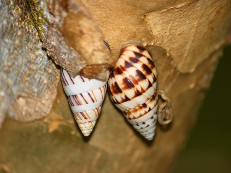 se cramponner: Snails cling to a tree at Guanica Forest Reserve in Puerto Rico