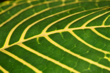 Yellow veins of a bright green rainforest leaf photo