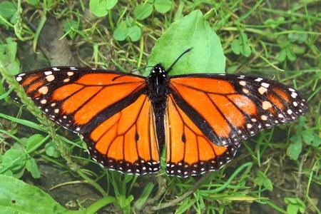 danaus: Monarch Butterfly (Danaus plexippus) in northern Illinois Stock Photo