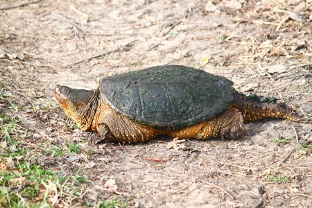 snapping turtle: Snapping Turtle (Chelydra serpentina) on a warm spring day near Rockford, Illinois Stock Photo