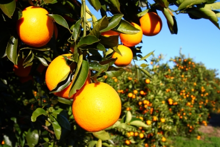 Naranjales de Florida en un día soleado Foto de archivo