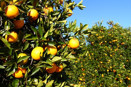 Orange groves of Florida on a sunny day