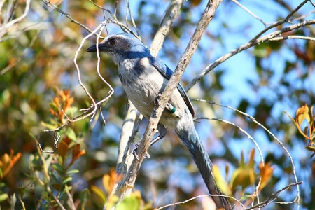 Florida Scrub Jay (Aphelocoma coerulescens) sits in a scrub bush of central Florida