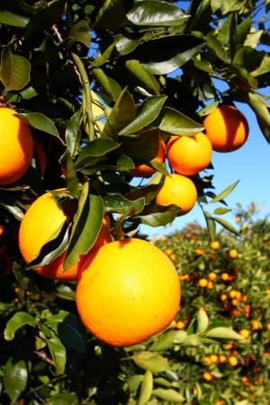 naranjas: Naranjales de Florida en un d�a soleado Foto de archivo