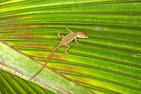 palmetto: Green Anole (Anolis carolinensis) sits on a palmetto frond in Florida