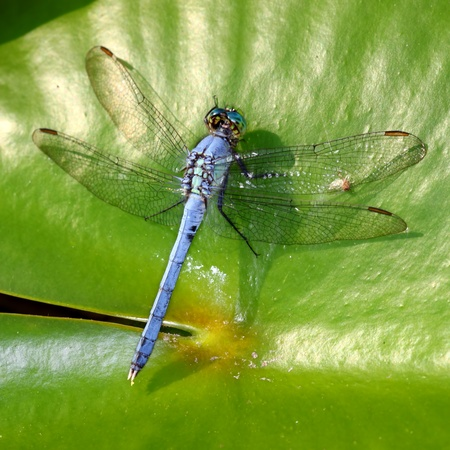 Eastern Pondhawk (Erythemis simplicicollis) resting on a lily pad in central Florida photo