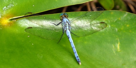 erythemis: Eastern Pondhawk Dragonfly (Erythemis simplicicollis) resting on a lily pad in central Florida