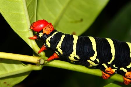 Tetrio sphinx (Pseudosphinx tetrio) Caterpillar in the rainforest of Puerto Rico