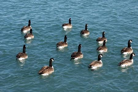 branta: Canada Geese (Branta canadensis)