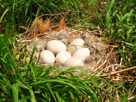Canada Goose eggs in a nest in southern Wisconsin Stock Photo