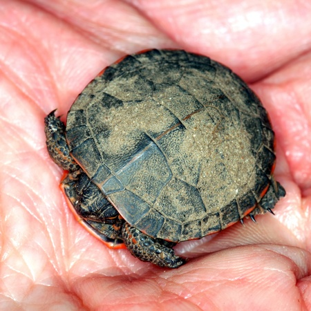 midwest usa: Baby Painted Turtle (Chrysemys picta) found in the midwest USA Stock Photo