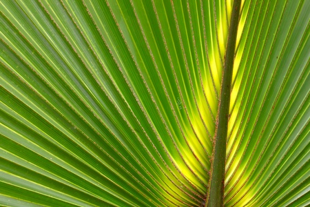 Beautiful green coloration of a palmetto frond in Florida