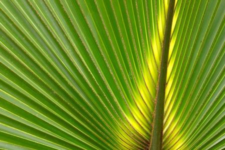 palmetto: Beautiful green coloration of a palmetto frond in Florida