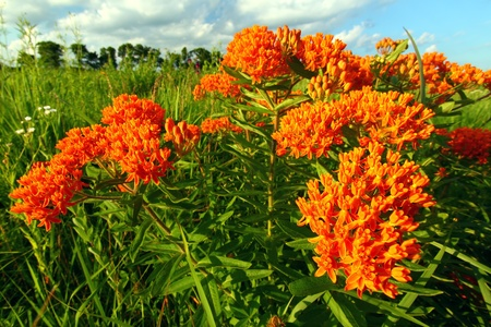 Butterfly Milkweed (Asclepias tuberosa) in a northern Illinois prairie