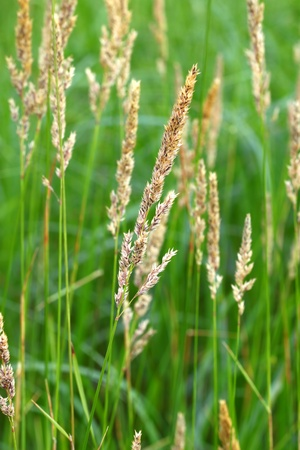 Reed Canary Grass (Phalaris arundinacea) grows thickly in a field of northern Illinois 版權商用圖片 - 9896731