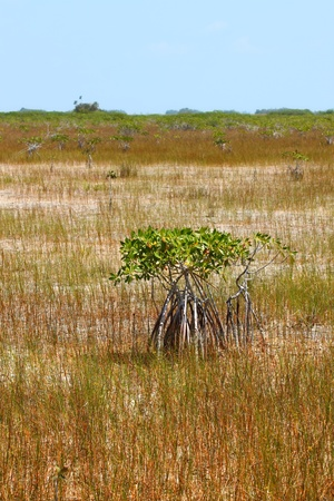 wetland conservation: Mangroves in a parched landscape of Everglades National Park in the dry season